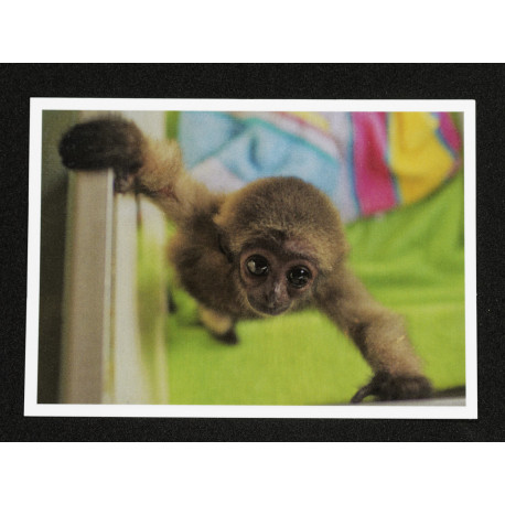 Carte Postale Jeune Gibbon