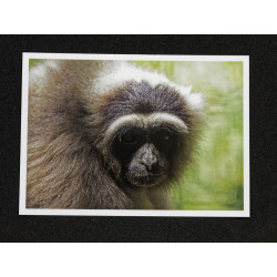 Carte Postale Gibbon Libre
