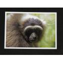 Carte Postale Gibbon Portrait